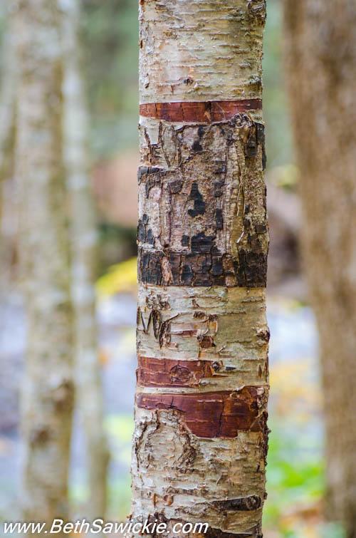 Scared Birch Tree at Ricketts Glen, PA