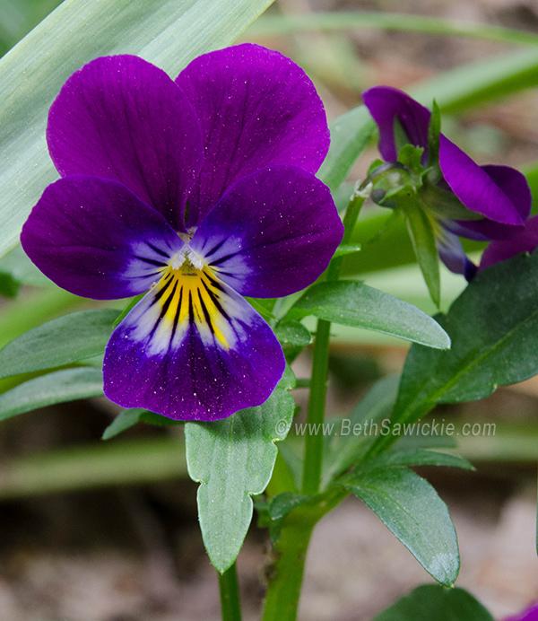 Purple Wild Pansy by Beth Sawickie http://www.bethsawickie.com