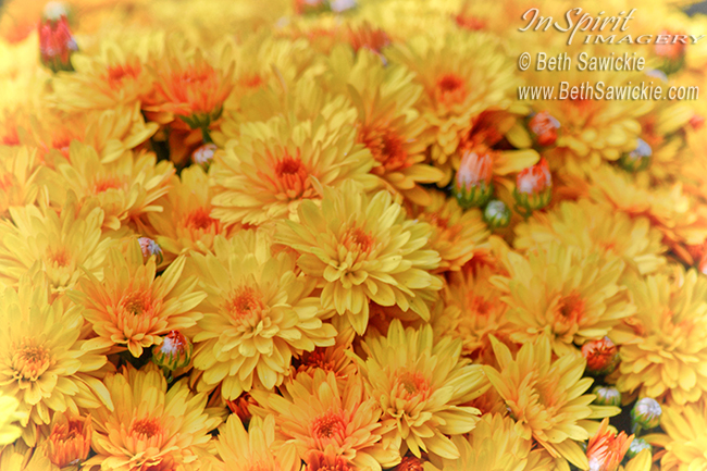 Yellow Mums by Beth Sawickie http://bethsawickie.com/yellow-mums