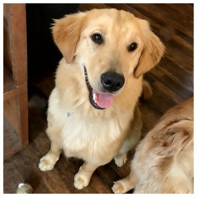 Dog Golden Retriever Mental Health
