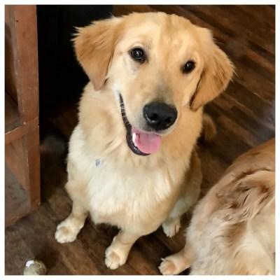 Dog Golden Retriever Mental Health