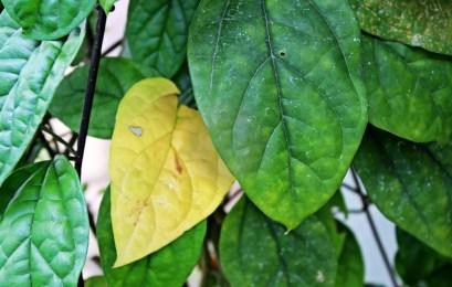 'old' leaf
