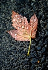 Brown Leaf on Street