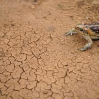 Nova Russas - Sapo cururu é visto próximo à cisterna durante período de seca na comunidade rural de Irapuá (Fernando Frazão/Agência Brasil)