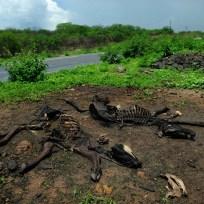 Crateús - Carcaças de gado na estrada que leva a Nova Russas (Fernando Frazão/Agência Brasil)
