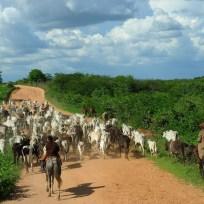 Crateús - Moradores convivem com período de seca na cidade de Crateús. Gado na estrada que leva ao Açude Carnaubal (Fernando Frazão/Agência Brasil)