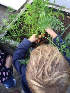 wortels uit de moestuin