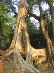 Huge kapok trees growing into the ruins of the Ankor empire