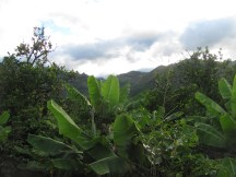 Banana and coffee trees in our backyard.