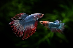 male and female betta