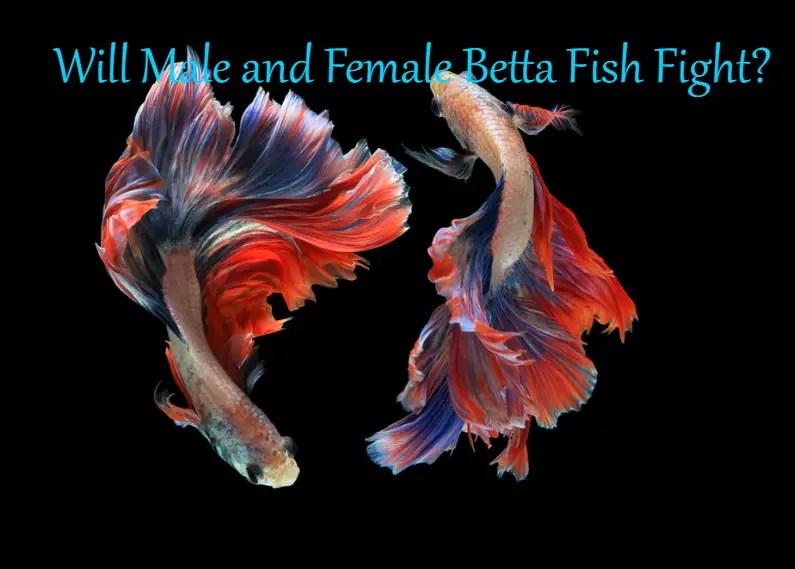 Will Male and Female Betta Fish Fight?