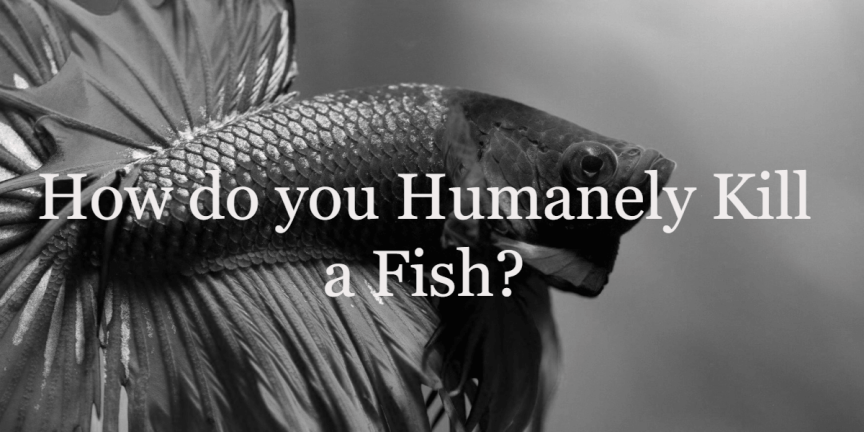 How do you Humanely Kill a Fish