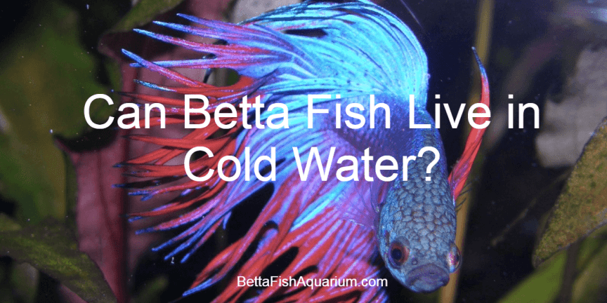 Can Betta Fish Live in Cold Water