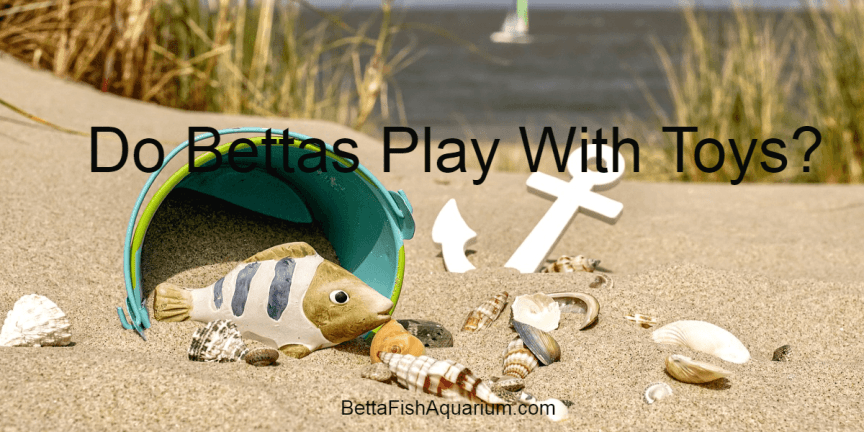 Do Bettas Play With Toys