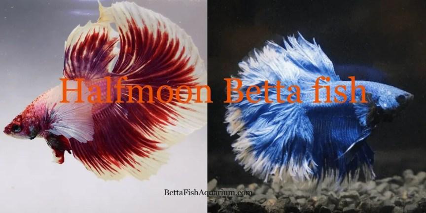 Halfmoon Betta fish - Habitat, Caring, Breeding, Facts