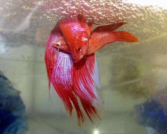 A pair of bettas spawning under a bubble nest....