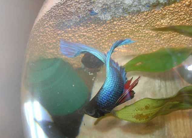 A pair of Betta splendens spawning in an aquar...