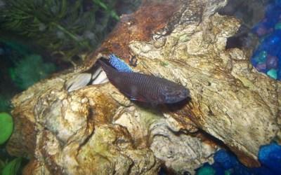 Female Betta Fish