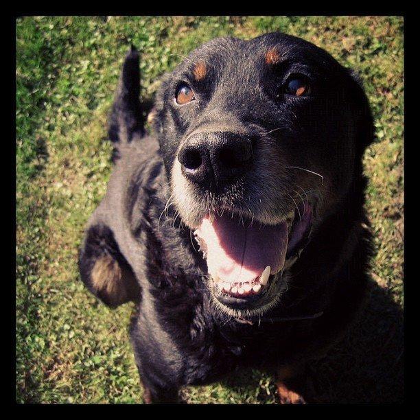 black dog smiling
