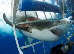 my BA50 encounter with a great white