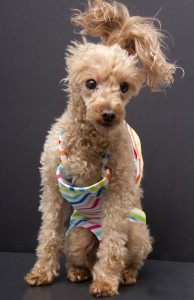 poodle in bathing suit