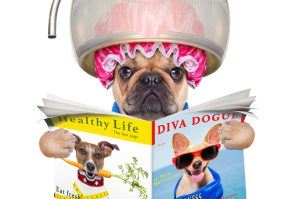 french bulldog dog under the hood dryer , drying hair ,reading a newspaper or magazine, isolated on white background