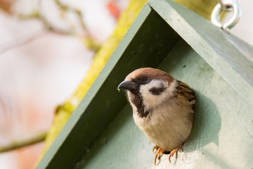 Sparrow looking out of empty nest