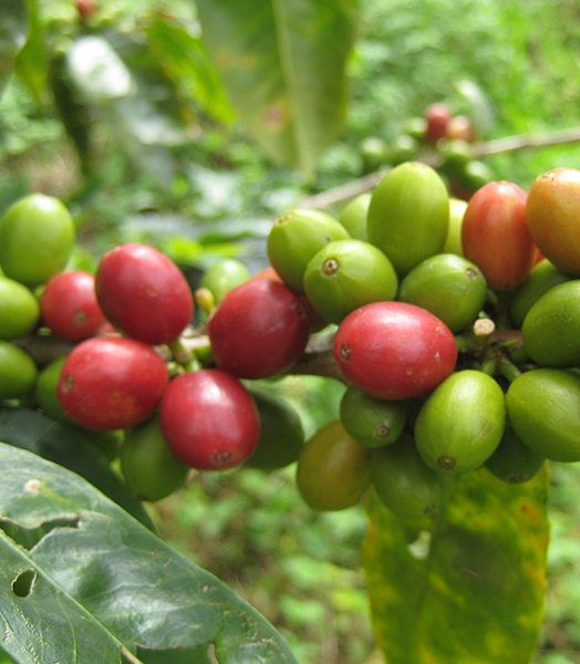 Some Coffee Ready To harvest