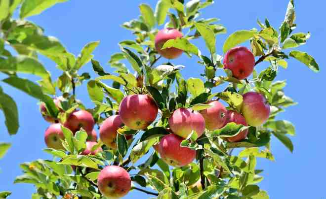 Apples on the tree with blue sky.