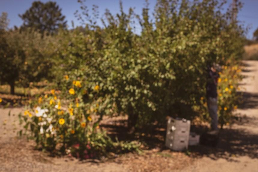 apple farm in Julian San diego county