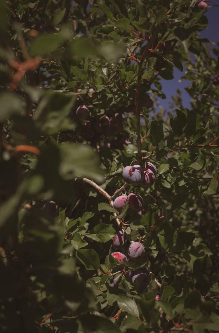 harvest black plum Cali