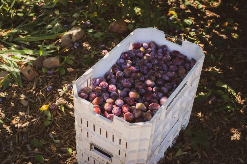 black plum San diego
