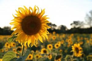 sunflower-402249_1920