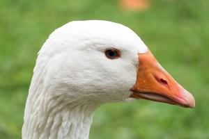 goose-525420_1280