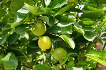 lemon-793909_1280