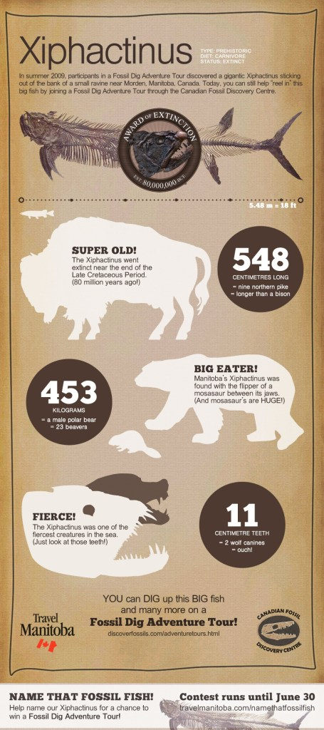 Xiphactinus infographic for Travel Manitoba and the Canadian Fossil Discovery Centre