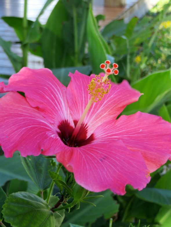 A vibrant hibiscus flower.