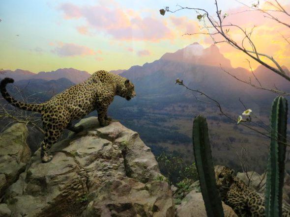 Jaguar, Hall of North American Mammals, American Museum of Natural History.