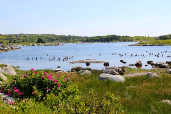Canadian geese on the way to Peggy's Cove.