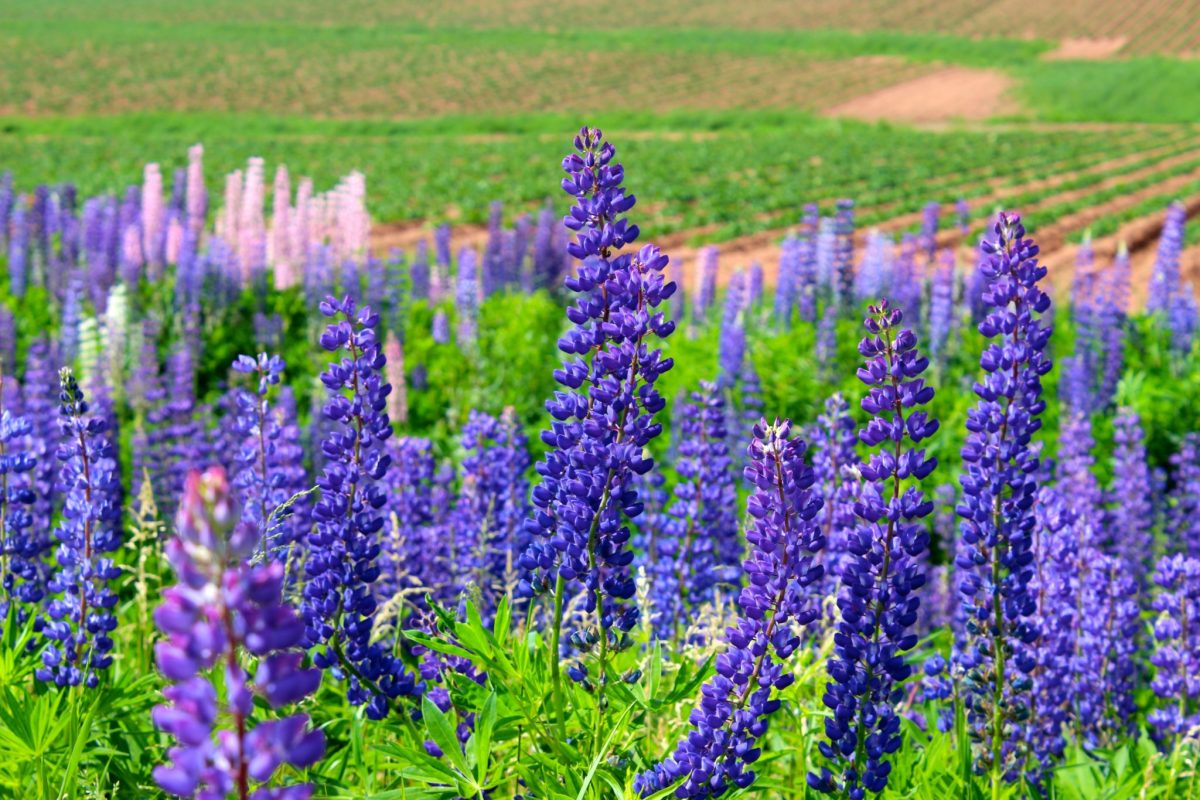 Lupins, lupins everywhere.