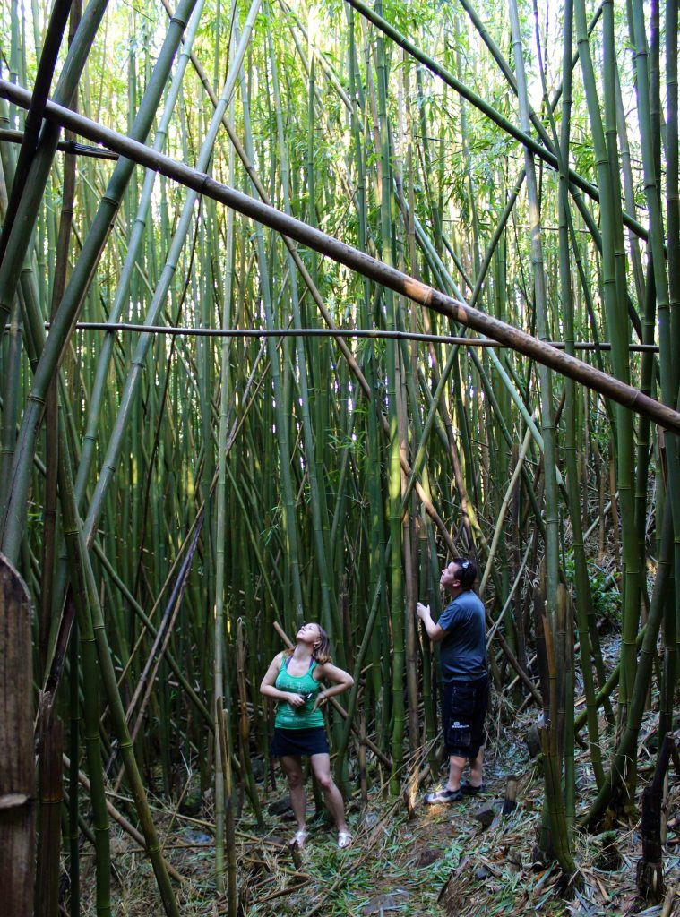 Bamboo forest, Road to Hana, Maui, Hawaii