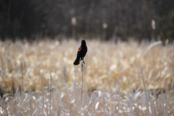 Red wing blackbird, Ominnik Marsh, Riding Mountain
