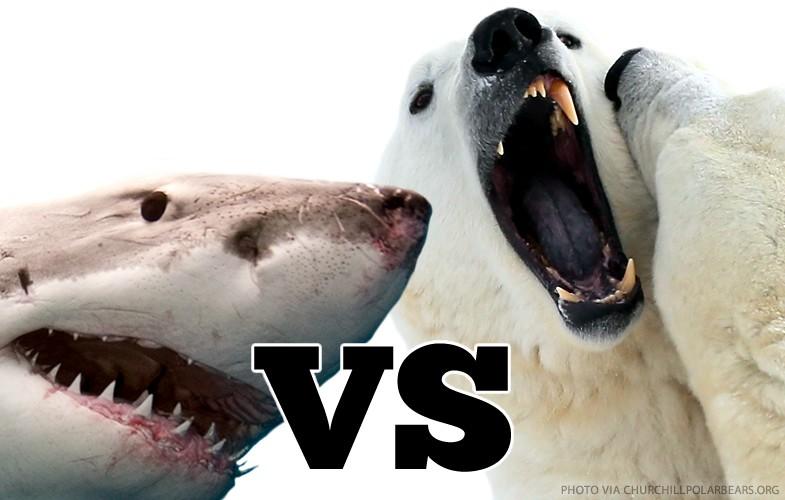 Polar bears vs Sharks by Kirsten Neil