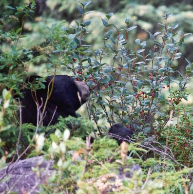 Black bear on way to Lake Maligne, Jasper National Park.