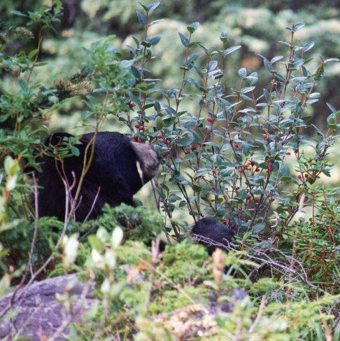 Black bear on way to Lake Maligne, Jasper National Park.