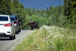 Grizzly on the Bow Valley Parkway, Banff National Park