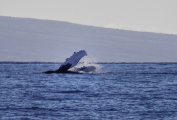 Humpback whale watching in Maui