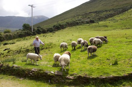 Sheep herding, Ring of Kerry, Ireland