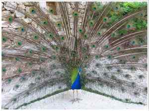 Lokrum Island Peacocks