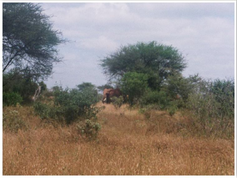 Tsavo Safari.  Elephant at Tsavo National Park Kenya